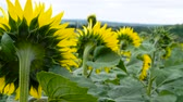 ceo : Sunflowers in the field. Yellow flowers. Stock Footage