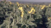 herbívoro : Sunflowers in the field. Yellow flowers. Stock Footage