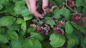 backyard : Womans hands picking up blackberries. Full HD Stock Footage