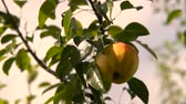 harmonious : Pear On The Tree. Branch With Pear On The Tree. Pear Hanging on the Tree. Stock Footage
