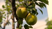 avlu : Pear On The Tree. Branch With Pear On The Tree. Pear Hanging on the Tree. Stok Video