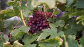 vino : Bunches of Red Grapes Hanging in Vineyard. Stock Footage