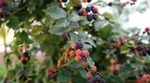 vine branch : Close up of blackberries on a blackberry bush, on a farm Stock Footage