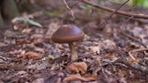 houby : Brown mushroom in the forest, close up dolly shot.
