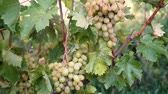 vine branch : Hanging bunches of green wine grapes in vineyard.