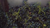 ezmek : Vintner using manual vintage crusher on grapes, traditional artisanal wine.