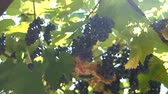 vinho tinto : Ripe Vineyard Grapes. Grapes Vineyard Sunset. Ripe Grapes On The Vine For Making White Wine. Stock Footage