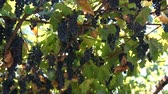 Ripe Vineyard Grapes. Grapes Vineyard Sunset. Ripe Grapes On The Vine For Making White Wine. Wideo