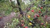 bereket : Apple trees with red apples. Gimbal shooting. Stok Video