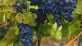 vine branch : Bunches of heavy ripe dark purple vine grape with bloom growing in row at vineyard farm, green and red leaves. Gimbal chooting.