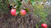 Apple trees with red apples. Gimbal shooting. Wideo
