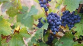 grape : Ripe Vineyard Grapes. Grapes Vineyard Sunset. Ripe Grapes On The Vine For Making White Wine. Stock Footage