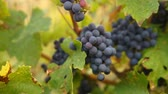 Ripe Vineyard Grapes. Grapes Vineyard Sunset. Ripe Grapes On The Vine For Making White Wine. Stock Footage