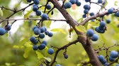 Delicate fresh Sloe berries on branche. Autumn. gimbal chooting.