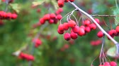 grãos : Red berries on thorny branches Red berries. branch autumn sunlight and leaves on thorny branches hawthorn or thornapple Crataegus. Gimbal chooting.