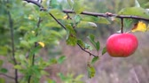 Apple trees with red apples. Gimbal shooting. Stock Footage