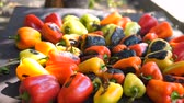 Red and yellow sweet pepper cooking on the grill over coals. Wideo
