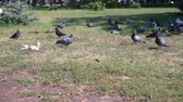 hambruna : Family feeding flock of pigeons Archivo de Video