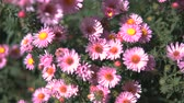 perennial : Purple Asters Fall Flowers Steadicam shot.