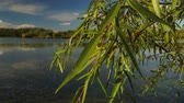 waterlily : view of the lake among the reeds Stock Footage