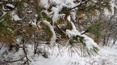 zúzmara : Close up pine tree covered with snow. Tree branches after snow fall. Beautiful winter wallpaper. Stock mozgókép