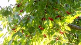 веточка : Ripe cherry. beautiful,ripe cherries are ready for picking rocking in the summer breeze, ProRess