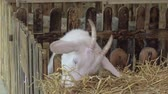A young white goat at the farm eats hay Stock Footage