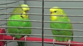 Wavy parrot sits on a perch in a cage, close-up Stock Footage