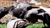 голубь : Pidgins Eating Piece Of Bread 2 Стоковые видеозаписи
