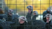 fence : Turkeys in the cage, turkeys look at the frame