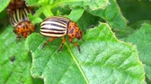colorado potato beetle : Colorado potato beetle on green leafs Stock Footage