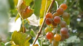 enology : Bunch of red gapes. A bunch of ripe red grapes hanging. Stock Footage