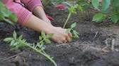 Female hands plant in the ground young green shoots of tomatoes on a vegetable plantation.