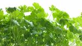 Parsley in vase, close-up. Leaves of intense green color, , are caressed by the male hand of a man.