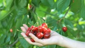 Cherries in hand girl on green background. Girls hand picking cherry from tree. Stock Footage