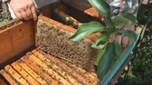 polinização : The beekeeper pulls out a frame of honey from the hive.