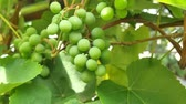 vinná réva : Young green grape berries on the tree. Unripe bunch of green grapes.