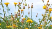 Beautiful field with yellow wildflowers. Plants are moving in the wind. shallow depth of field.