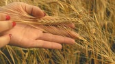 jib : Close-up of womans hand running through wheat field, dolly shot