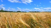 Ears of wheat and cloudy sky. Stock Footage