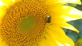 Sunflower working bee bright sunny weather close up natural energy organic farming clean farm outdoors honey pollen bees