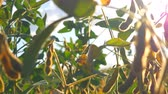 grain growing : Branches of soybean under the blue sky, against the rays of the sun. Dry and green soybean.