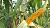 Young green corn cobs grow on a cornfield Stock Footage