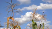 Corn field in summer, maize stems trembling on the breeze with clouds and idyllic sky in the background Stock Footage