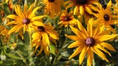 saturado : Yellow flowers Rudbeckia in the garden swaying from the light wind, summer sunny day. Stock Footage