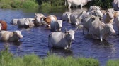 bull : cows in the river