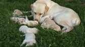 Labrador retriever taking care of her newborn puppies lying on the grass - the pups scattered around her