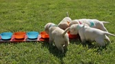 family love : Young labrador puppies gathering at the feeding bowls and eating - closeup