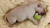 pet friendly : Newborn labrador puppy dog sleeping on knitted woolen sweater - closeup Stock Footage