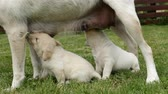 Young labrador puppies sucking milk standing under their mother - reaching up for a nipple